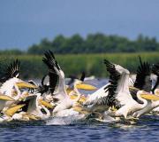Дельта Дуная пеликаны